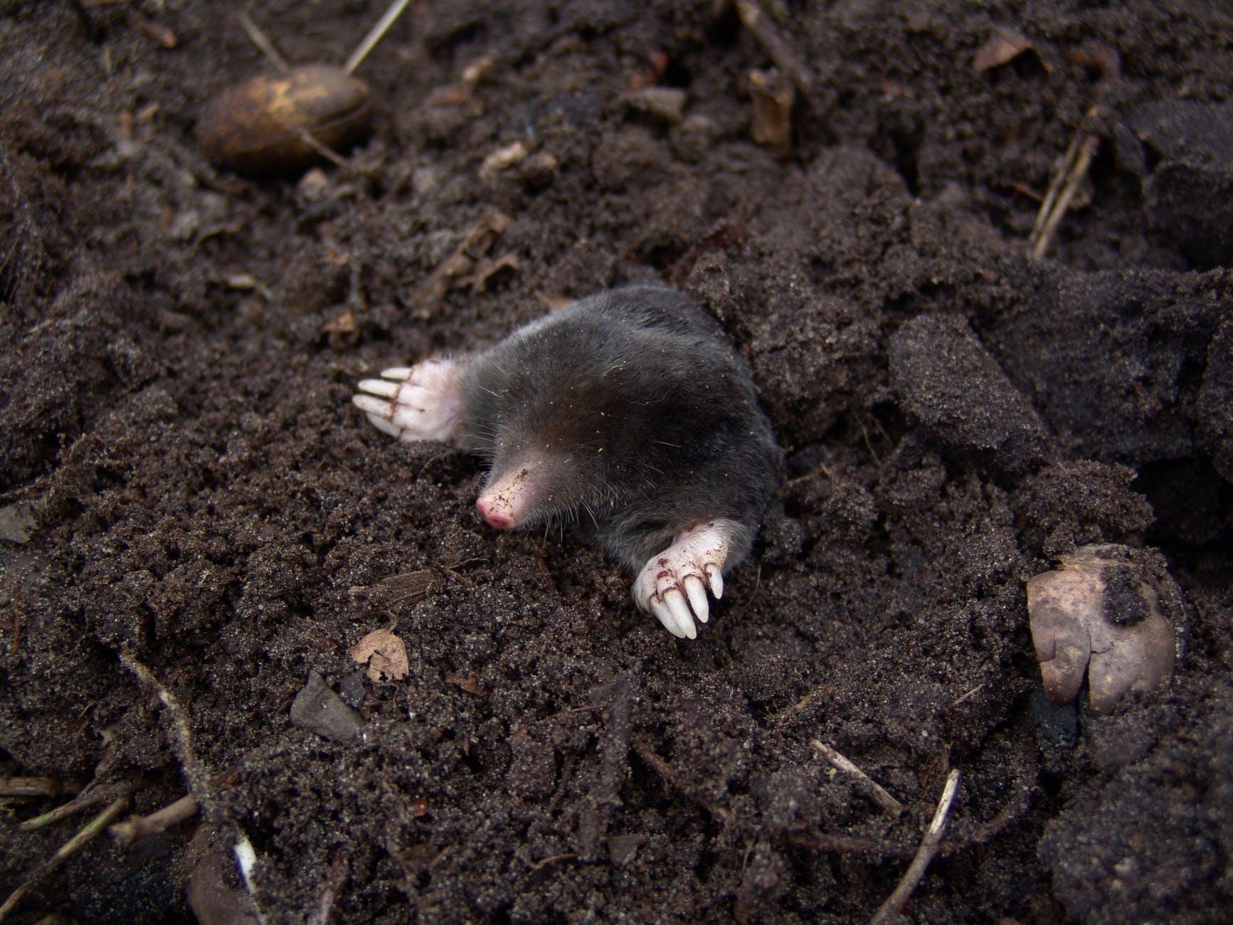 black mole in black soil