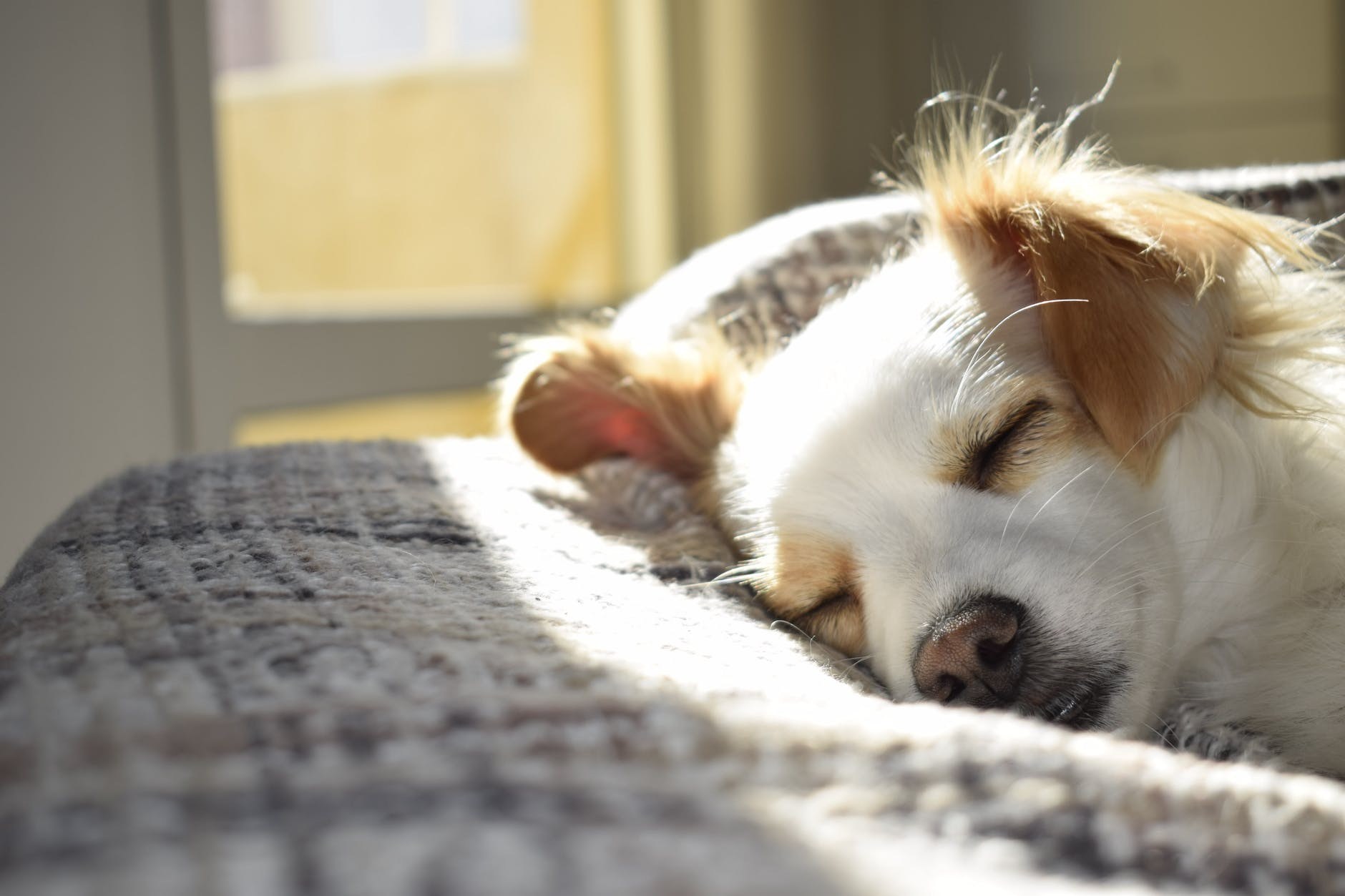 closeup photography of adult short coated tan and white dog sleeping on gray textile at daytime