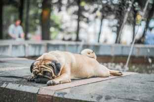 fawn pug lying on concrete surface