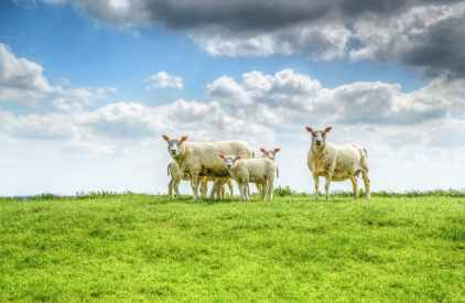 five white sheep on farm